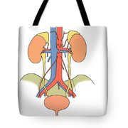 Illustration Of Urinary System Tote Bag by Science Source