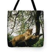 A Lion Panthera Leo Relaxes On A Tree Tote Bag