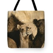 A Pair Of Dromedary Camels Pose Proudly Tote Bag