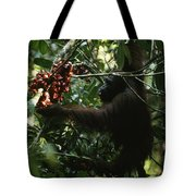 An Orangutan Gorges Himself Tote Bag