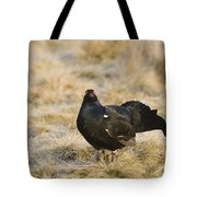 Black Grouse Displaying On A Lek Tote Bag