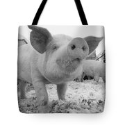 Close View Of A Young Pig In A Snowy Tote Bag