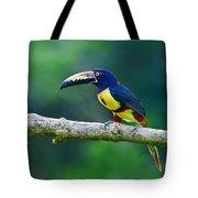 Collared Aracari Tote Bag