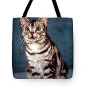 Curious American Shorthair Tote Bag