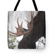 Male Moose Grazing In Winter, Gaspesie Tote Bag
