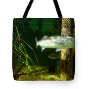 Striped Bass In Aquarium Tank On Cape Cod Tote Bag