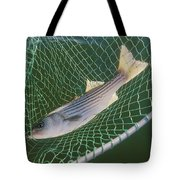 Striped Bass In Net.  The Fish Tote Bag