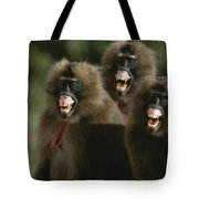Three Female Geladas, Theropithecus Tote Bag