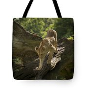 Young Lion Stalking Tote Bag
