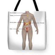 Endocrine System In Female Anatomy Tote Bag