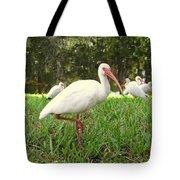 American White Ibis Birds In Orlando, Florida Tote Bag