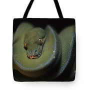 An Immature Green Tree Python Curled Tote Bag