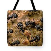 Ant Crematogaster Sp Group Tote Bag