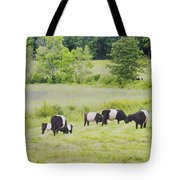 Belted Galloway Cows Rockport Maine Poster Prints Tote Bag