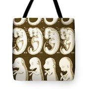 Ernst Haeckels Evolution Of Man, 1874 Tote Bag