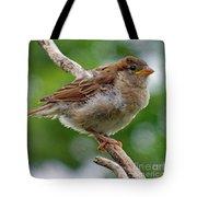 Juvenile House Sparrow Tote Bag