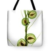 Milkweed, Gomphocarpus Physocarpus Tote Bag
