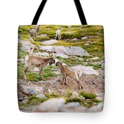 Practicing Baby Bighorn Sheep On Mount Evans Colorado Tote Bag