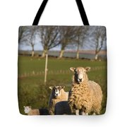 Sheep, Lake District, Cumbria, England Tote Bag