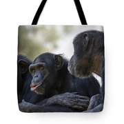 Three Chimpanzees Socializing  Tote Bag