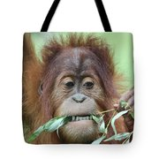 A Close Portrait Of A Young Orangutan Eating Leaves Tote Bag