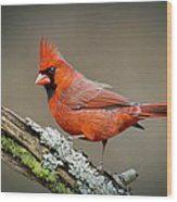 Portrait Of Cardinal  Wood Print