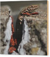 A Lizard Emerging From Its Hole Wood Print