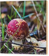 Amanita Muscaria Commonly Known As The Fly Agaric Or Fly Amanita Wood Print