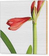 Amaryllis  Wood Print