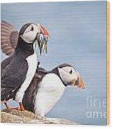 Atlantic Puffin  Fratercula Arctica Wood Print