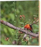 Berry Eating  Scarlet Tanager Wood Print