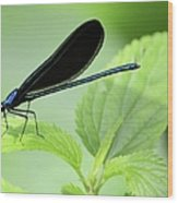Black Winged Damselfly 7261 Wood Print
