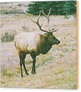 Canadian Elk Wood Print