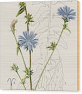 Chicory, Or Succory         Date 1915 Wood Print
