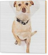 Chihuahua Mix Dog With Cone  Wood Print