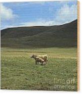 Cow And Calf. Aubrac . France. Wood Print