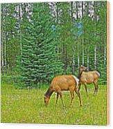 Elk Near Wapiti Campground In Jasper Np-alberta Wood Print