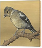 Female Chaffinch Wood Print