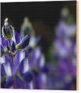 Focused Lupin Wood Print
