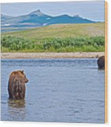 Grizzly Bears Looking At Each Other In Moraine River In Katmai Np-ak  Wood Print