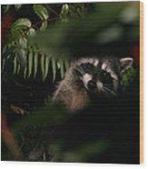 I Can See You  Mr. Raccoon Wood Print