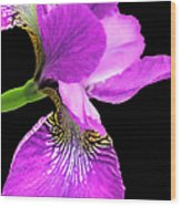 Japanese Iris Violet Black  Wood Print