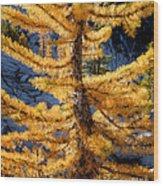 Larch Tree Closeup Wood Print
