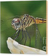 Austrogomphus Dragonfly Wood Print