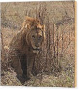 Lions Of The Ngorongoro Crater Wood Print