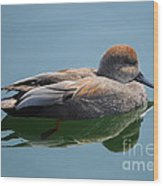 Male Gadwall Duck  Wood Print