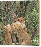 Masai Mara Lion Cubs Wood Print