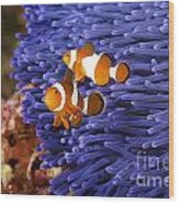 Ocellaris Clownfish Wood Print