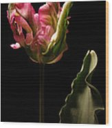 Pink and Green Parrot Tulip Wood Print