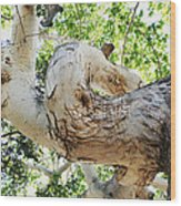 Sycamore Tree's Twisted Trunk Wood Print